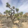 Thumb joshua tree in joshua tree national park
