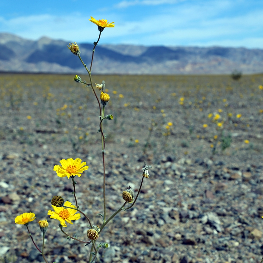 The Superbloom is a once-in-a-decade event when greater rainfall than usual makes for a blanket of color in the desert