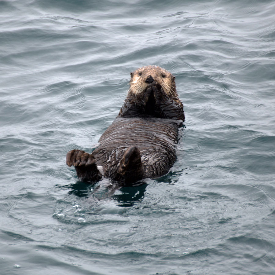 Sea otters live their whole lives on the water