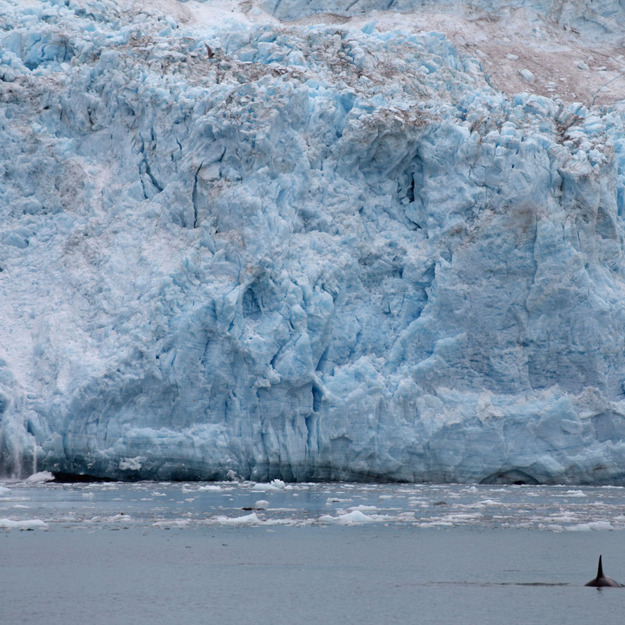 The glacier calves on the left while a transient killer whale visits on the right