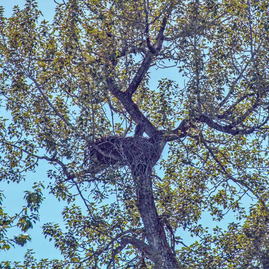 Can you spot the bald eagle in the nest?